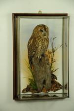Tawny Owl Taxidermy Mount