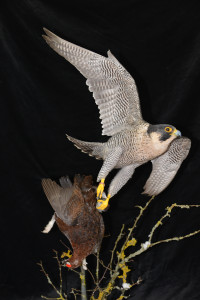 Taxidermy Peregrine Falcon falco peregrinus catching Grouse 1