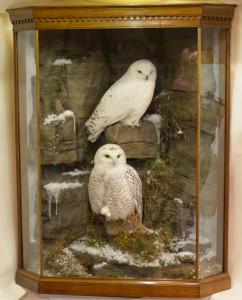 Taxidermy Snowy Owl (Bubo scandiacus) in case