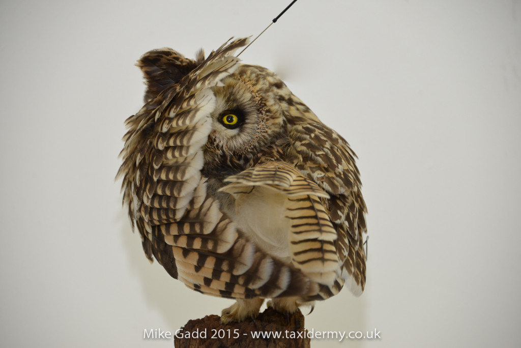 short-eared-owl (1 of 4)